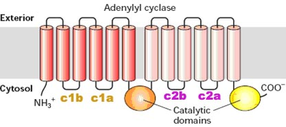 adenylyl cyclase