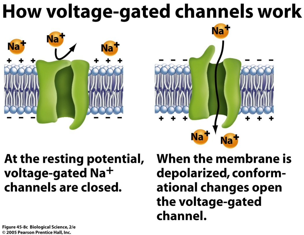 voltage-gated ion channels